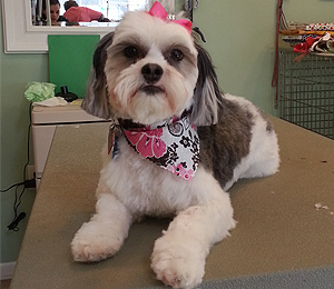 freshly groomed dog with a bandana and bow